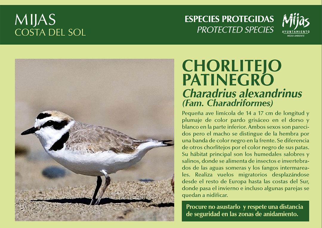 especies-protegidas-chorlitejo-patinegro